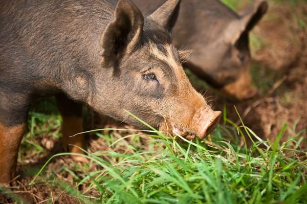 Piggies at Malama Farms on Food Practice